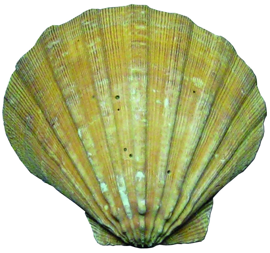 clam shell copy
